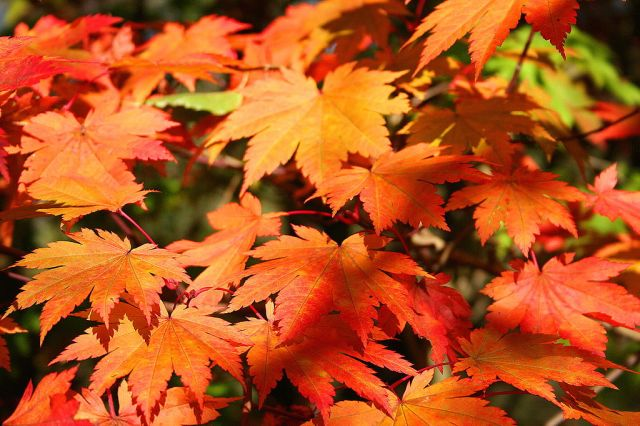"""Acer japonicum Vitifolium JPG1fu"" by Jean-Pol GRANDMONT - Own work. Licensed under CC BY 3.0 via Wikimedia Commons - https://commons.wikimedia.org/wiki/File:Acer_japonicum_Vitifolium_JPG1fu.jpg#/media/File:Acer_japonicum_Vitifolium_JPG1fu.jpg"